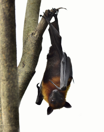 Hanging flying fox or big bat on white background