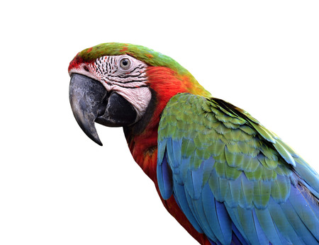 Harlequin Macaw bird isolated on white background photo