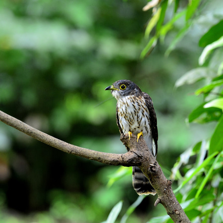 Hodgsons cuckoo bird perching on the branch with green environment