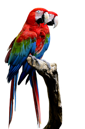 Sweet pair of Red-and-Green Macaw Parrot bird, green-winged macaw bird sitting on the log together isolated on white background