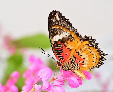 lacewing: The Leopard lacewing butterfly perching on Pink Coral Vine, mexican creeper or chain of love flower