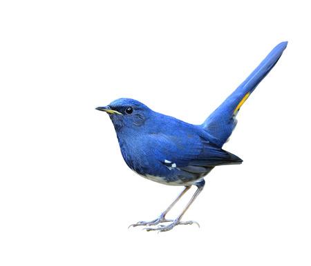 白い背景に白い腹 Redstart、白い腹 redstart (Hodgsonius phaenicuroides) 美しい青い鳥分離 写真素材