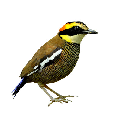 A beautiful female of Banded Pitta standing with all details from head to toe, bird photo