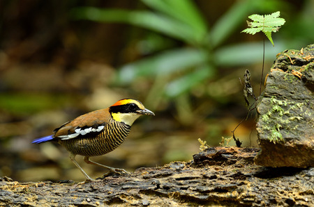 A beautiful female of Banded Pitta on the rock photo