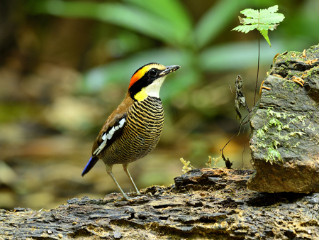 A female of Banded Pitta looks up for food photo