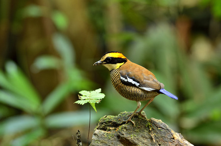 A nice action of female of Banded Pitta on the rock with plant photo
