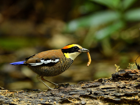 A female of Banded Pitta with worm in mouth photo