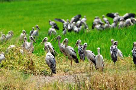 A flock of Asian Openbill or Open-billed stork in the rice plantation photo
