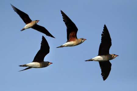 A flying flock of Oriental Pratincole photo
