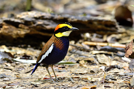 A male of Banded Pitta on the ground with full length photo