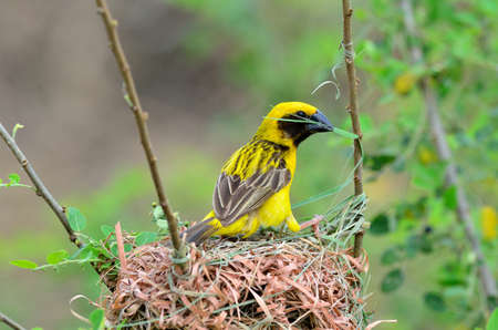 A male of Asian Golden Weaver is building its nest photo