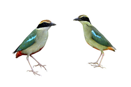 A pair of Fairy Pitta standing on isolated white background photo