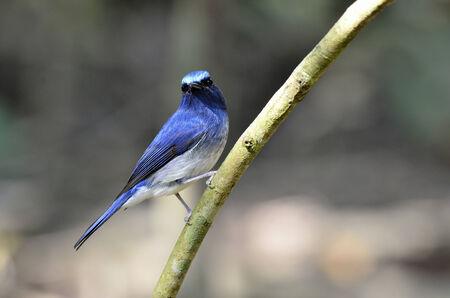 A shiny Hainan Blue Flycatcher on a branch photo