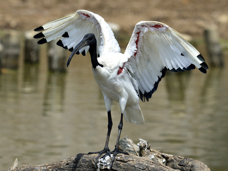 African sacred ibis (Threskiornis aethiopicus) opening its wings for sunbath photo