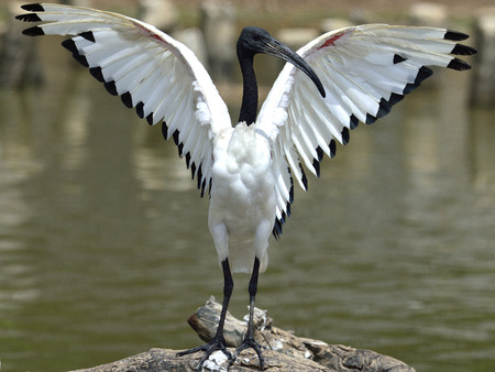 African sacred ibis (Threskiornis aethiopicus) opening its wings ready for taking off to fly photo
