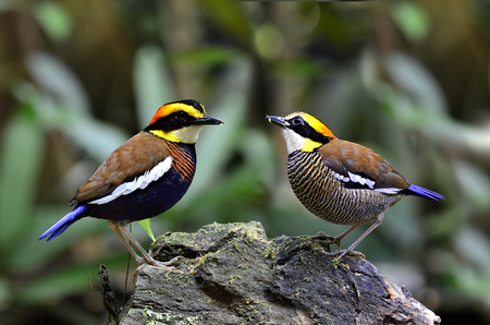 Sweet male and female of Banded Pitta pose on the same rock photo