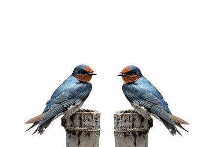 A Barn Swallow and Pacific Swallow on the nice perch as a nice swift bird