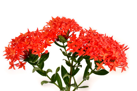 Beautiful bunch of Red Ixora flowers  ( Coccinea) on white background photo