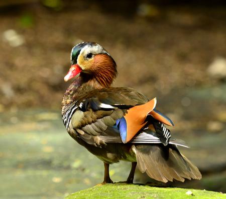 aix galericulata: beautiful male Mandarin Duck (Aix galericulata) Stock Photo