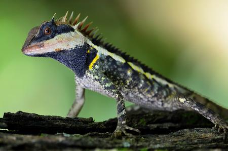 prin: Hermoso de cabeza alargada Boulenger lagarto negro con la cara y los ojos rojos
