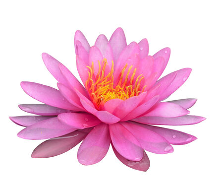 lilia: Beautiful Pink Lotus Flower isolated on white background Stock Photo
