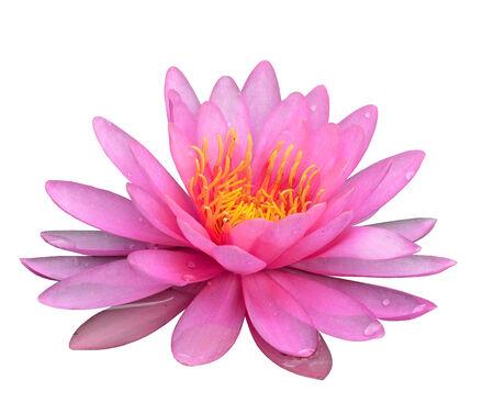 Beautiful Pink Lotus Flower isolated on white background photo