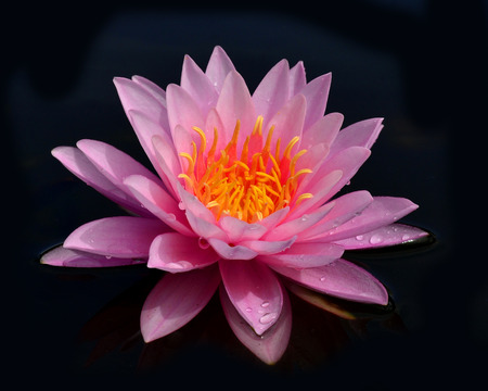 Beautiful Pink Waterlily or Lotus flower on black background photo