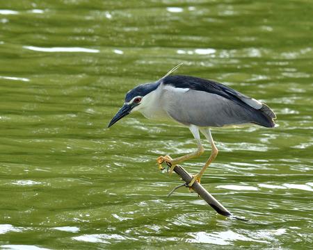 prin: Negro-coronada paciencia Night Heron en baja pesca palo para peces en el estanque, nycticorax