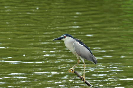 Black-crowned Night Heron stretches his neck on low stick fishing for fish in the pond, nycticorax photo
