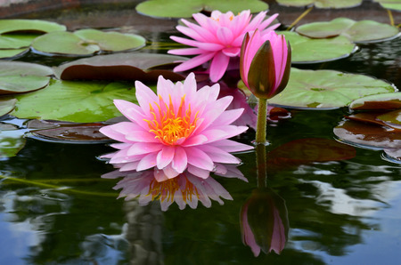 Blooming Lotus Flowers surrounded with its leafs and reflection in water photo