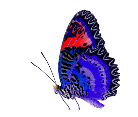biblis: Blue and Red butterfly, Leopard Lacewing, isolated on white background
