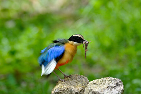 hair do: Blue-winged Pitta is carrying worms with spiky hair do Stock Photo