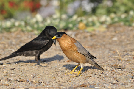 A Brahminy Starling standing with Black Drongo in the back photo