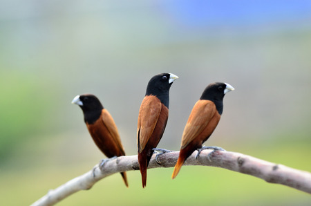 Brid, black-headed Munia sitting on branch together photo