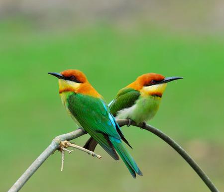 prin: Casta�a-dirigido abejaruco, naranja con cabeza Abejaruco, merops leschenaulti, p�jaro, una dulce pareja de abejarucos