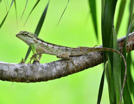 prin: Lagarto con cresta, Boulenger largo Lagarto dirigido, microlepis Pseudocalotes, encaramándose rama con fondo verde agradable