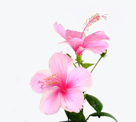 Double of beautiful of Pink Hibiscus flower isolated on white background