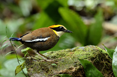 The best of Banded Pitta on the rock with fine lighting photo