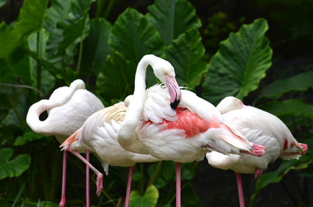daddy long legs: Flamingo (Phoenicopterus roseus) cleaning its feathers showing pink color
