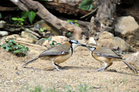Pair of Greater Necklaced Laughingthrush is feeding chick with nice capture photo