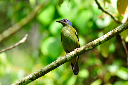 Green Cochoa is the most wanted bird to see and photograph in Thailand and asia