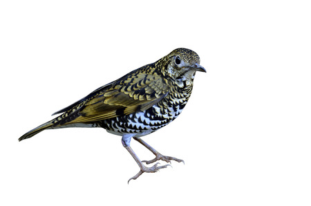 vagrant: Best Scaly thrush in details on isolated white background