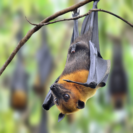pteropus: Big Bat, Hanging Flying Fox with many others behide in background Stock Photo