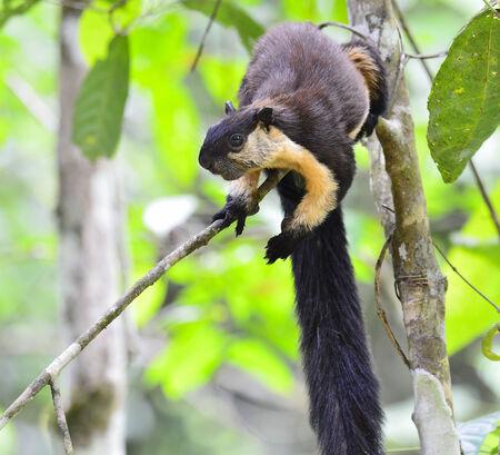 kaeng: Black Giant Squirrel (Ratufa bicolor) Kaeng Krachan National Park,Thailand Stock Photo