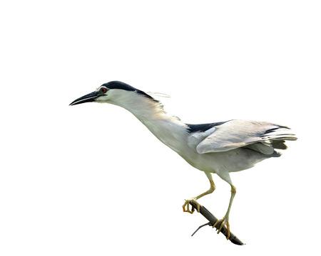 prin: Negro-coronada garza de noche extiende su cuello en fondo blanco aislado, nycticorax, pájaro