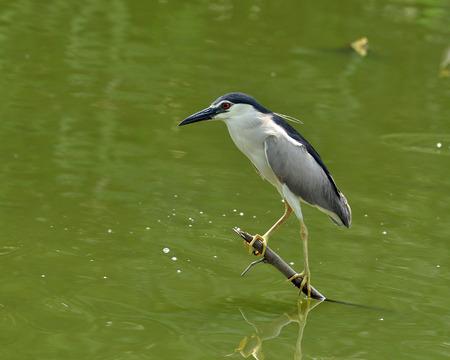 prin: Negro-coronada garza de noche que se encarama en la pesca baja palo para peces en el estanque, nycticorax, p�jaro