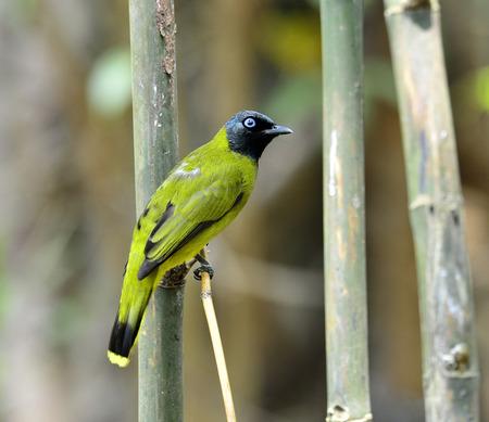 prin: Negro con cabeza de Bulbul, Pycnonotus atriceps, ave de Tailandia