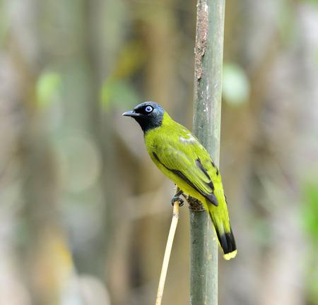 prin: Negro con cabeza de atriceps Bulbul, Pycnonotus, posarse en la rama de bamb�