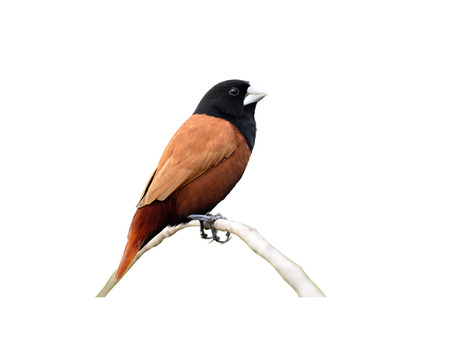 Black-headed Munia on isolated white background photo