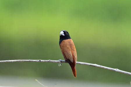 Black-headed Munia sitting on the brach with nice clear green background as the best shot photo
